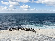 Imperial Shag also called King Shag, King Cormorant, Blue eyed Shag(Phalacrocorax atriceps, Leucarbo atriceps) . South America, Falkland Islands, Janu...