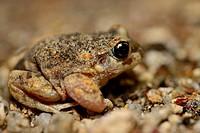 Iberian midwife toad (Alytes cisternasii) in Valdemanco, Madrid, Spain.