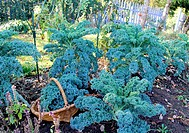 Picking of Kale´s cabbage in autumn in vegetable garden.