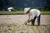 A female rice field worker planting rice, Harau Valley, Indonesia.