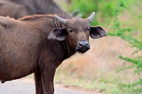 African buffalo or Cape buffalo (Syncerus caffer), young male on a paved road, Kruger National Park, South Africa, Africa.