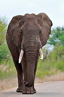 African bush elephant (Loxodonta africana), bull walking on a paved road, Kruger National Park, South Africa, Africa.