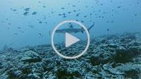 grey reef shark, Carcharhinus amblyrhynchos In blue water - Indian Ocean, Maldives