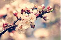 Cherry blooming, beauty spring backgrounds for your design.