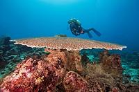 Female scuba diver look on Table coral (Acropora sp. ) Indian Ocean, Maldives.