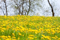 Czech Republic, Southern Bohemia - Field of Blooming Dandelions in Springtime.