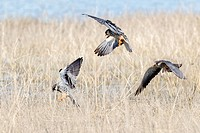 Asia, India, Nagaland province, Amur falcon (Falco amurensis) (Falco vespertinus var. amurensis), Up to one million birds are concentrated in Nagaland...