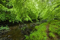 Sycamore and Beech trees display their spring foliage along the River Barle in Exmoor National Park near Dulverton, Somerset, England.