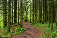 A pathway through coniferous woodland in Exmoor National Park near Dulverton, Somerset, England.