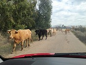 Driving slowly with animals at local road. Cows crossing. View from the inside of the car.