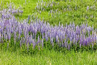A field of purple lupine flowers in north Idaho.