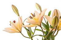 A studio close up image of pretty yellow lilies against a white background.