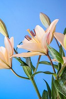 Close up of pretty yellow lilies set against a blue background.