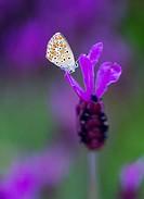 Butterfly and Spanish lavender (Lavandula stoechas), Sierra de Guadarrama, Madrid, Spain, Europe.