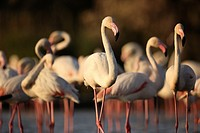 Greater Flamingo (Phoenicopterus roseus) in soft evening light, Camargue, France.