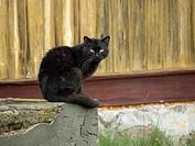 Black Cat. Rural area. Poland. Felis silvestris f. catus)
