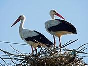 Storks in nest. Poland