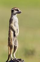 Suricate (Suricata suricatta). Also called Meerkat. Guard on the lookout. During the rainy season in green surroundings. Kalahari Desert, Kgalagadi Tr...