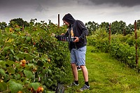Young People Picking Raspberries On A Farm, East Sussex, UK.