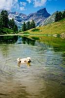 Golden retriever in the mountains.