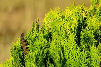 Lizard (Psammodromus algirus). Almansa, Albacete province, Spain