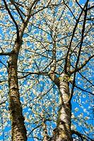 Blossoming cherry tree in the Eggenertal Valley in early spring, Niedereggen, Schliengen, Baden-Württemberg, Germany.