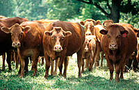 Limosin cattle close together, most staring toward camera, in grassy wooded field