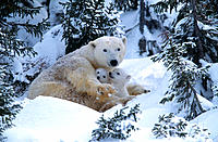 Polar Bears (Ursus maritimus), february. Wapusk National Park ( 50 km south of Churchill) . Canada