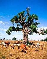 Goats, cows and Baobab tree. Senegal