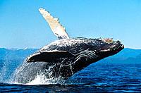 Humpback Whale (Megaptera novaeangliae), calf. Alaska. USA