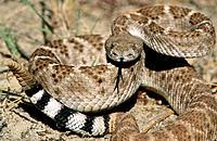 Western Diamondback Rattlesnake (Crotalus atrox). New Mexico. USA