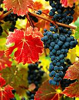 Cabernet grapes in autumn. Oregon