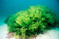 Sea Lettuce seaweed (Ulva rigida). Galicia. Spain