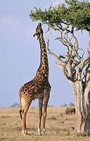 Giraffe (Giraffa camelopardalis), male. Masai Mara. Kenya