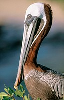 Brown Pelican (Pelecanus occidentalis). Galápagos Islands