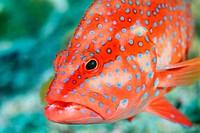 Coral grouper (Cephalopholis miniata).  Similan Islands, Andaman Sea. Thailand