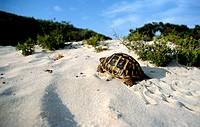 Hermann´s Tortoise (Testudo hermanni). Majorca, Balearic Islands. Spain