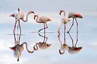 Greater Flamingos (Phoenicopterus ruber). Fuente de Piedra Lagoon. Málaga province. Spain