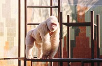 ´Copito de nieve´ (Snowflake), the only albine gorilla in the world. Barcelona Zoo. Spain