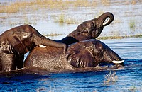African elephants playing in Chobe River, Chobe National Park, Botswana