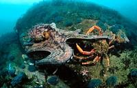 Common Octopus (Octopus vulgaris) and Spider Crab (Maja squinado)