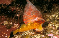 Comber (Serranus cabrilla) devouring Yellow Black-faced Blenny (Tripterygion delaisi)