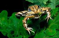Frog (Rana perezi) devouring grasshopper