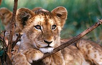 Lion (Panthera leo) cub. South Africa