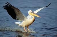 White Pelican, Pelecanus onocrotalis, Landing, Mkuze Game Reserve, KwaZulu-Natal, South Africa