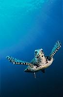 Hawksbill Turtle (Eretmochelys imbricata). Kimbe Bay, Papua New Guinea