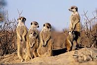 Meerkat or suricate (Suricata suricatta) family sunbathing at burrow. Kgalagadi Transfrontier Park, Kalahari. South Africa.