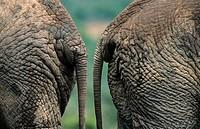 African Elephant. Loxodonta africana, Addo National Park, South Africa