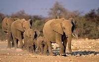 African elephants (Loxodonta africana) herd approaching waterhole. Addo Elephant National Park. South Africa