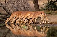 Impalas (Aepyceros melampus). Kruger National Park. South Africa